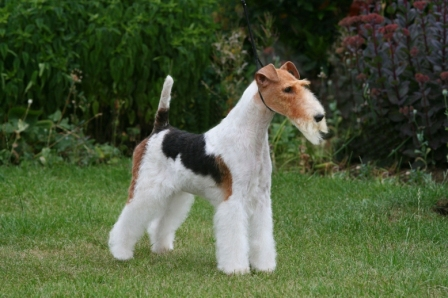 Fox terrier ruvido.jpg
